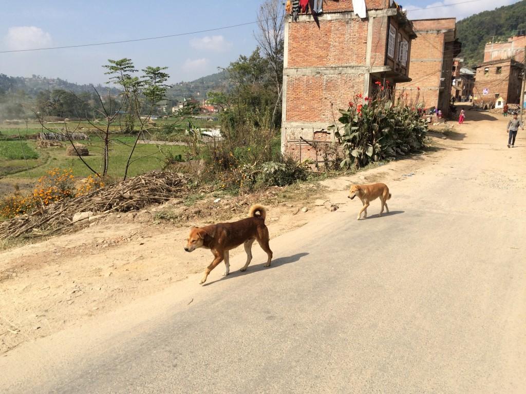 Hunde løber rundt alle steder. Et enkelt angreb på os, men ikke alvorligt. En anden hund løb med 3 km ned af downhill spor -- god tur hjem...!