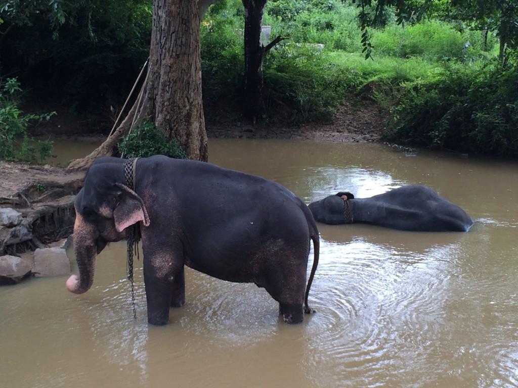 Det blev kun til disse elefanter idag. Blev benyttet til elefantridning ved Sigiriya klippen.
