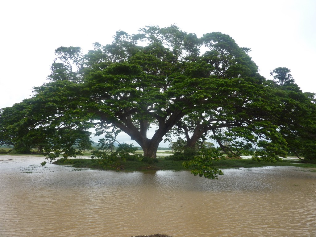 Træet var fyldt med kæmpeflagermus. Sikke en larm.