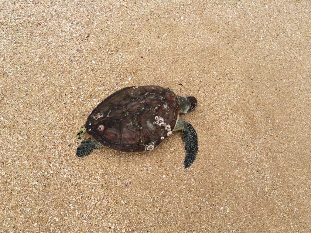 Desværre en død havskildpadde på stranden idag. De kommer op på visse af strandene i området omkring Tangalle og lægger deres æg.